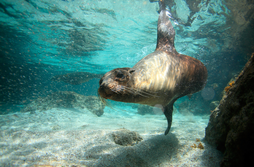 Sea lion swiming underwater in San Cristobal Island