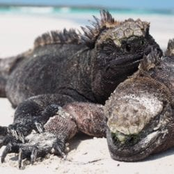 Marine iguanas lounging at Tortuga Bay, Galapagos Islands